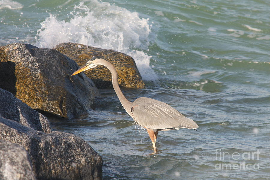 Heron Photograph - Great Blue Heron On The Prey by Christiane Schulze Art And Photography