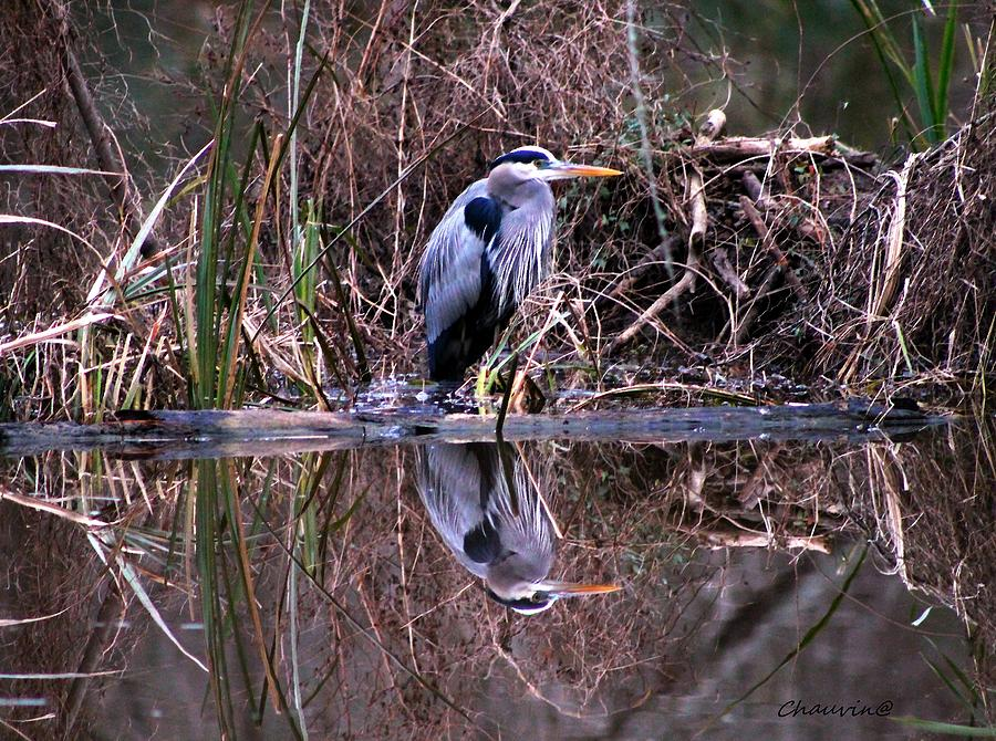 Great Blue Heron Photograph - Great Blue Heron Reflecting by Gene Chauvin