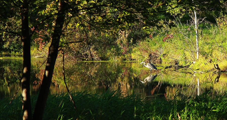 Heron Photograph - Great Blue Heron Reflecting by James Hammen