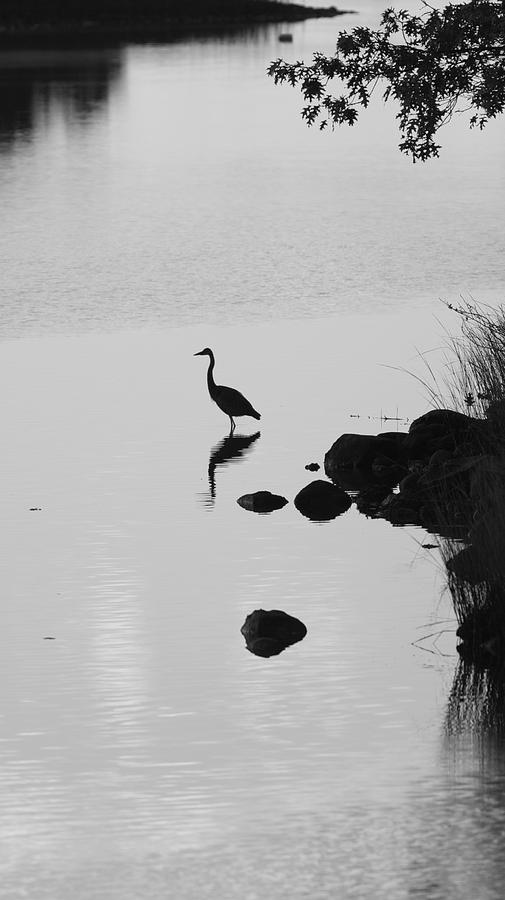 Great Blue Heron Photograph - Great Blue Heron Silhouette by Allan Morrison