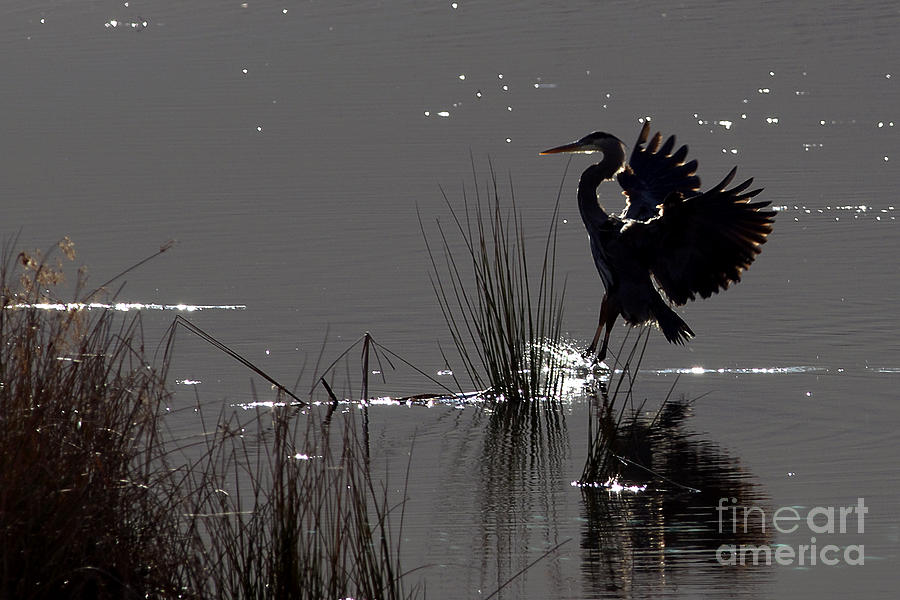 Great Blue Heron Photograph - Great Blue Heron Silhouette by Sharon Talson