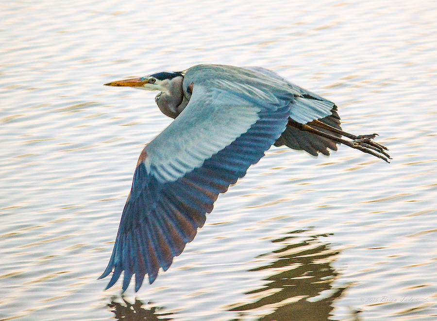 Great Blue Heron Photograph - Great Blue Heron Taking Flight by Brian Tada