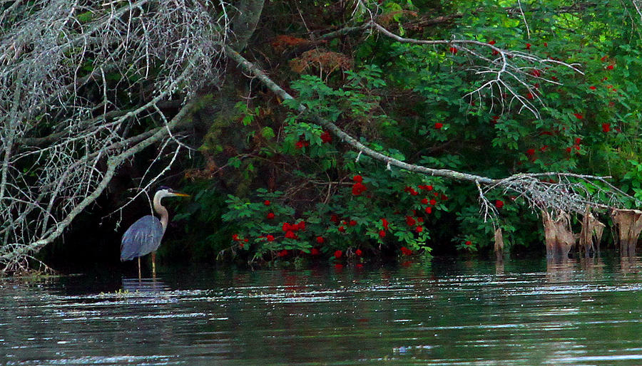 Heron Photograph - Great Blue Heron Wading by James Hammen
