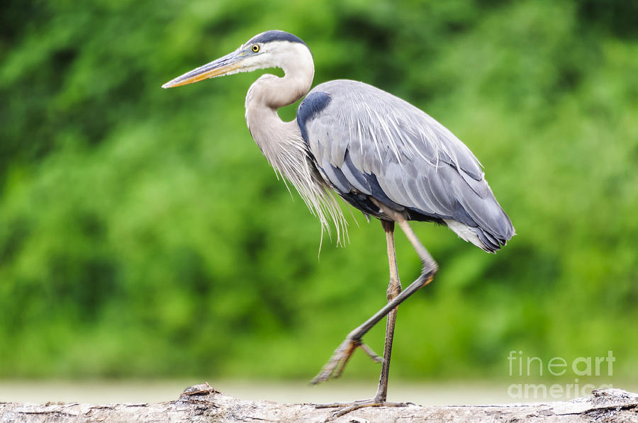 Great Blue Heron Walkin' A Log by Ilene Hoffman