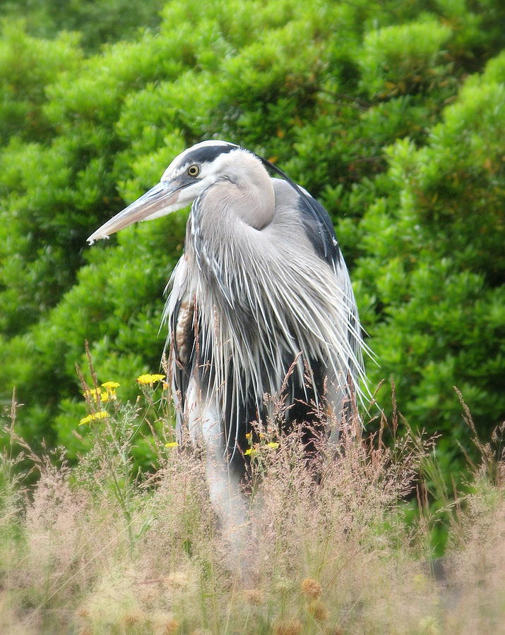 Decor Photograph - Great Blue Heron Watching and Waiting by Brian Chase