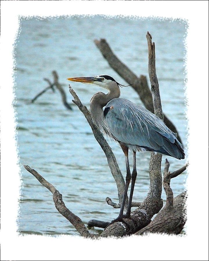 Bird Photograph - Great Blue Heron by Wynn Davis-Shanks