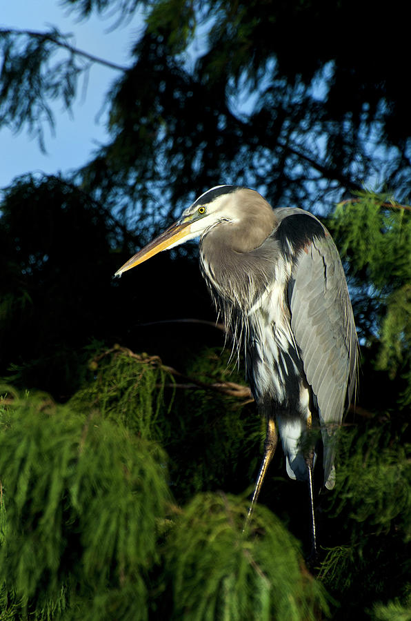 Great Blue Heron,in Tree Photograph by Mark Newman