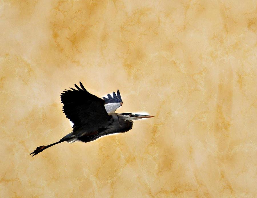 Great Blue Heron Photograph - Great Blue In Flight 1 by Marty Koch