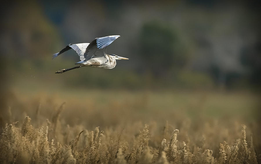 Great Blue Photograph - Great Blue In Flight by Patrick M Lynch