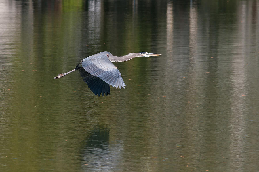 Great Blue Over Green Photograph