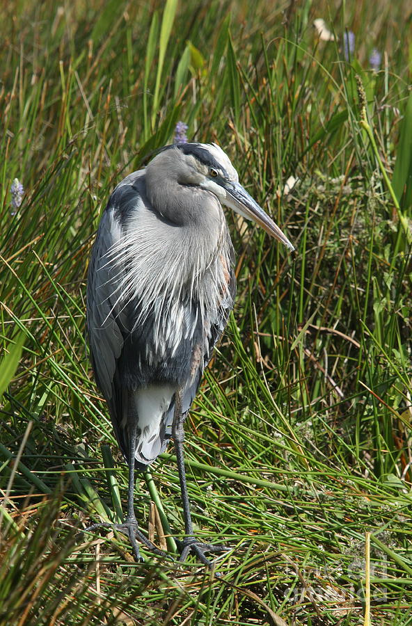 Heron Photograph - Great Blue Waiting For Prey by Christiane Schulze Art And Photography