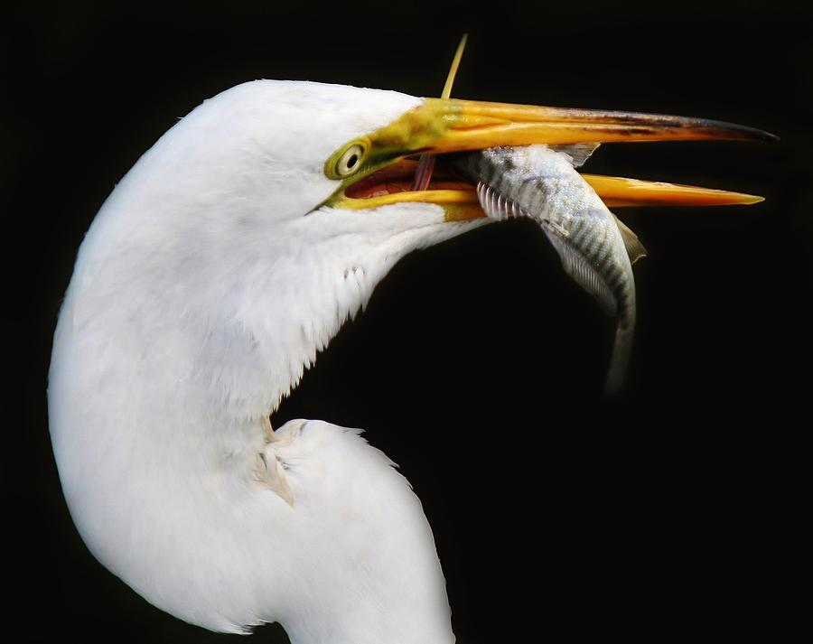 Great White Egret  - Great Catch by Paulette Thomas