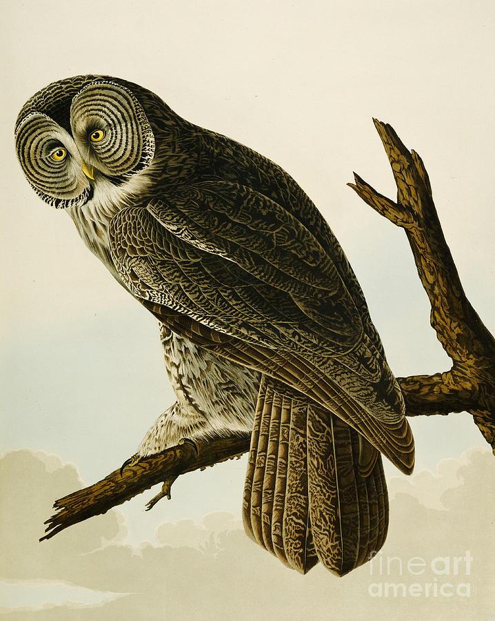 Owl Painting - Great Cinereous Owl by John James Audubon