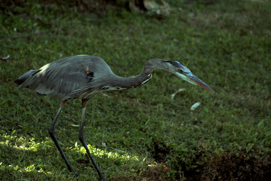 Great Blue Heron Photograph - Great Concentration by Sean Green