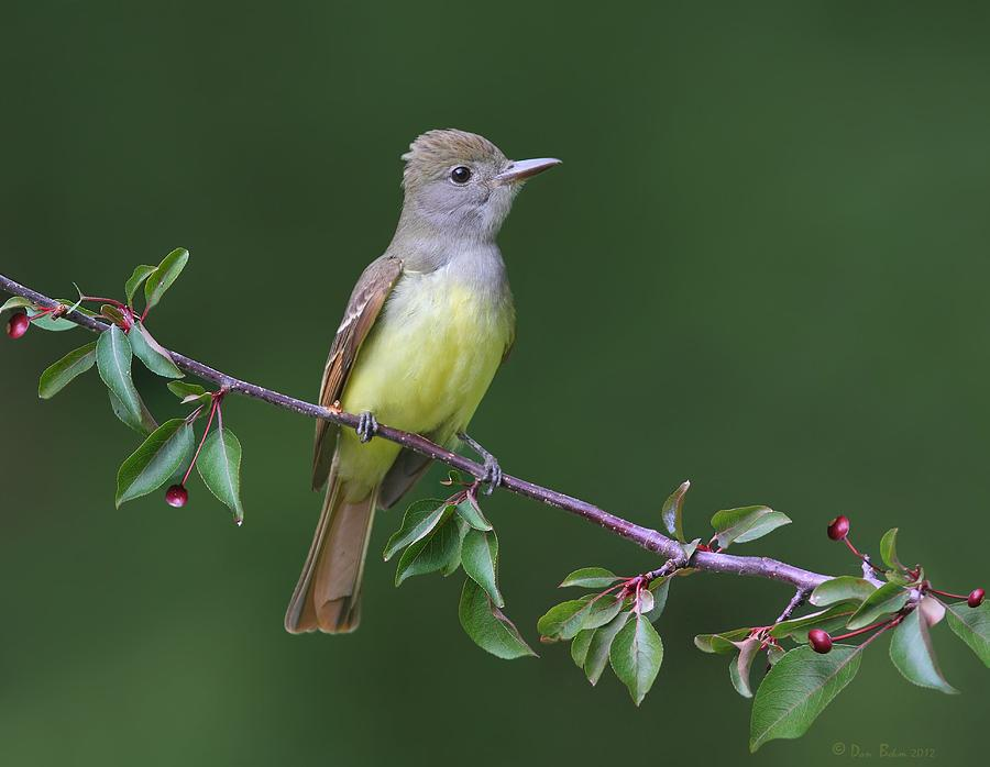 Great Crested Flycatcher Photograph - Great Crested Flycatcher by Daniel Behm