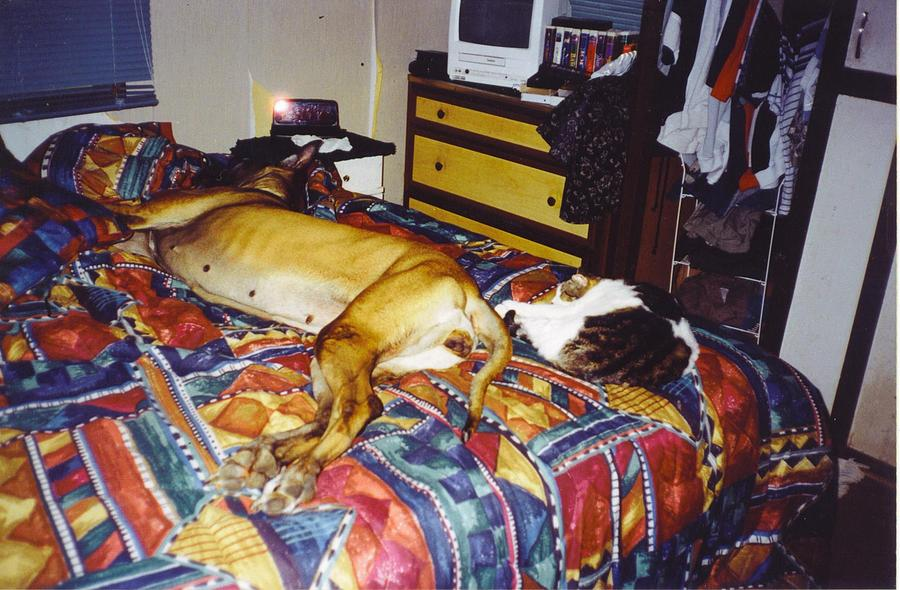 Nap Time Photograph - Great Dane And Cat by Robert Floyd