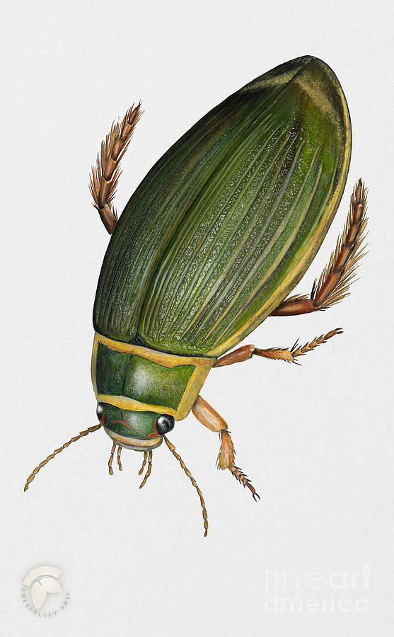 Great Diving Beetle Dytiscus Marginalis - Dytique Borde - Escarabajo Buceador - Keltalaitasukeltaja Painting
