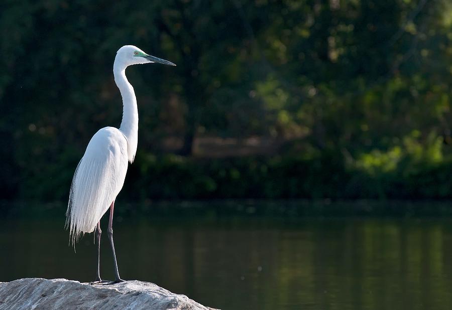 Animal Photograph - Great Egret At Waters Edge by K Jayaram