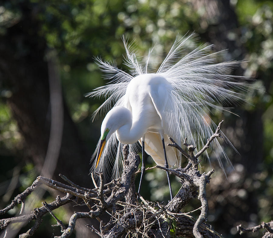 Great Egret Photograph - Great Egret by Christina Manassa