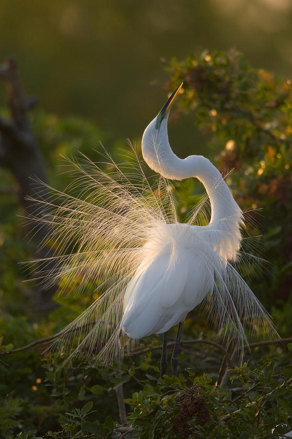 Great Egret Courting In Breeding Photograph by Tom Vezo