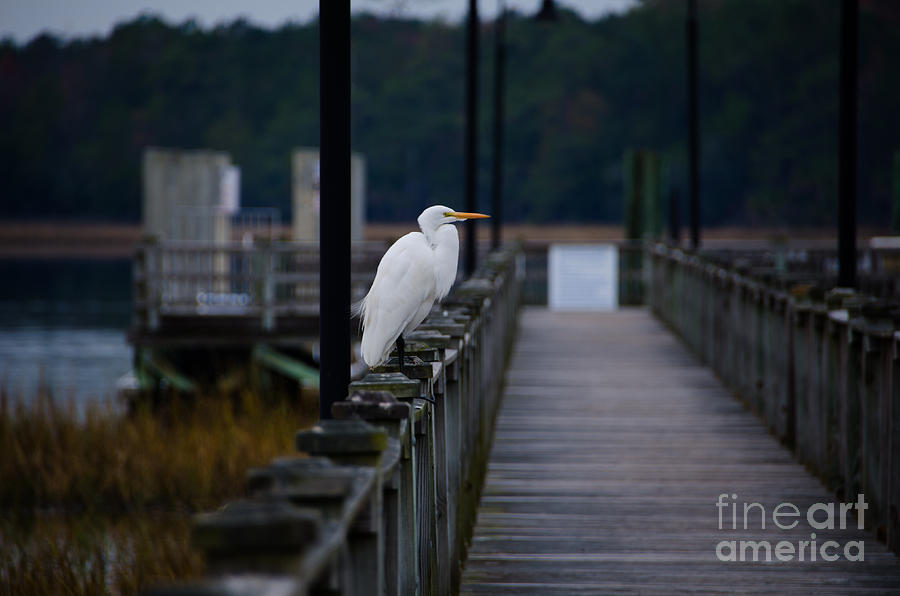 Great Egret Photograph