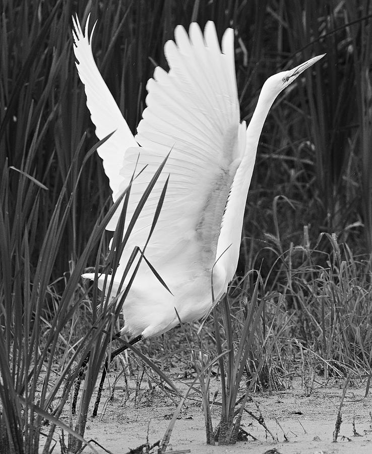 Canon Photograph - Great Egret In Black And White by Ricky L Jones