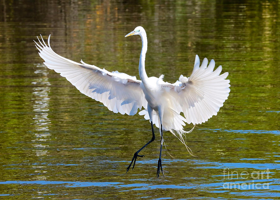 Great Egret Landing Photograph By Carol Groenen