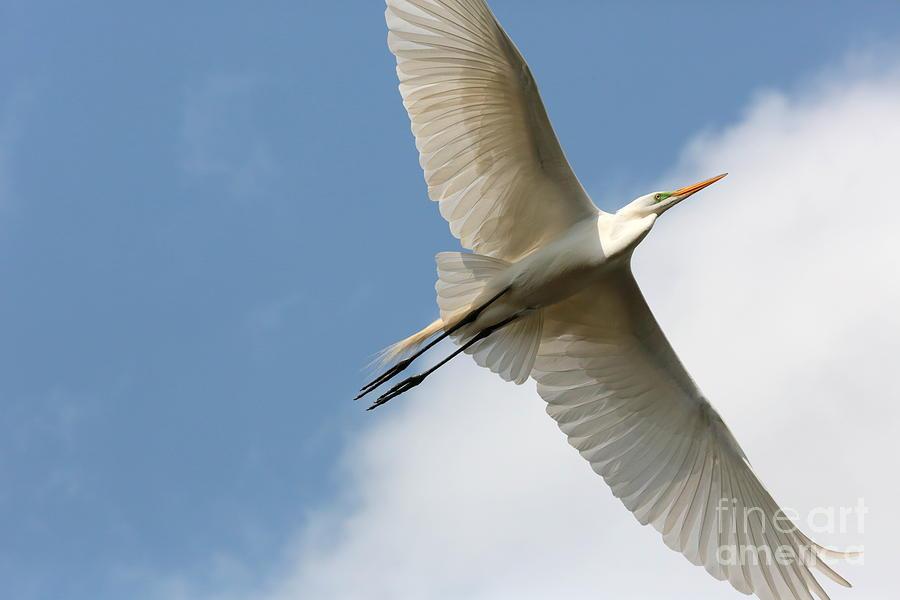 Flying Bird Photograph - Great Egret Overhead by Carol Groenen
