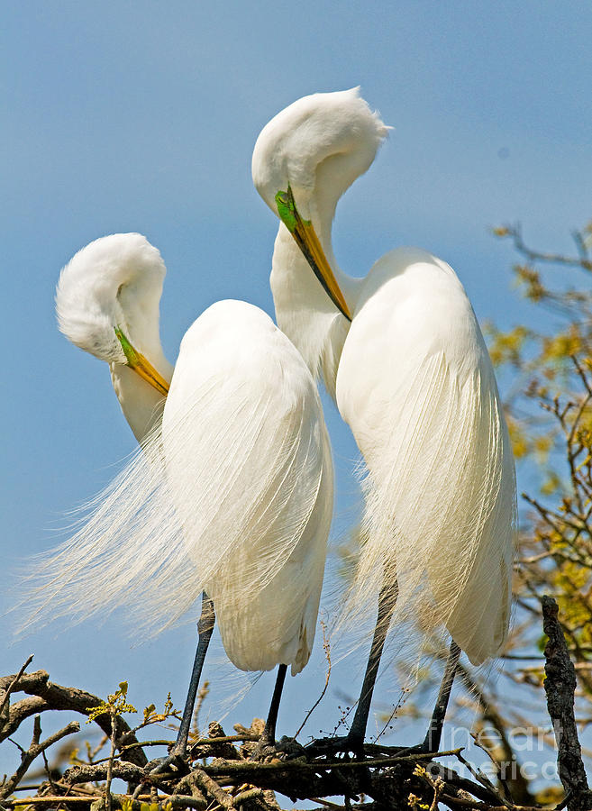 Nature Photograph - Great Egrets At Nest by Millard H Sharp