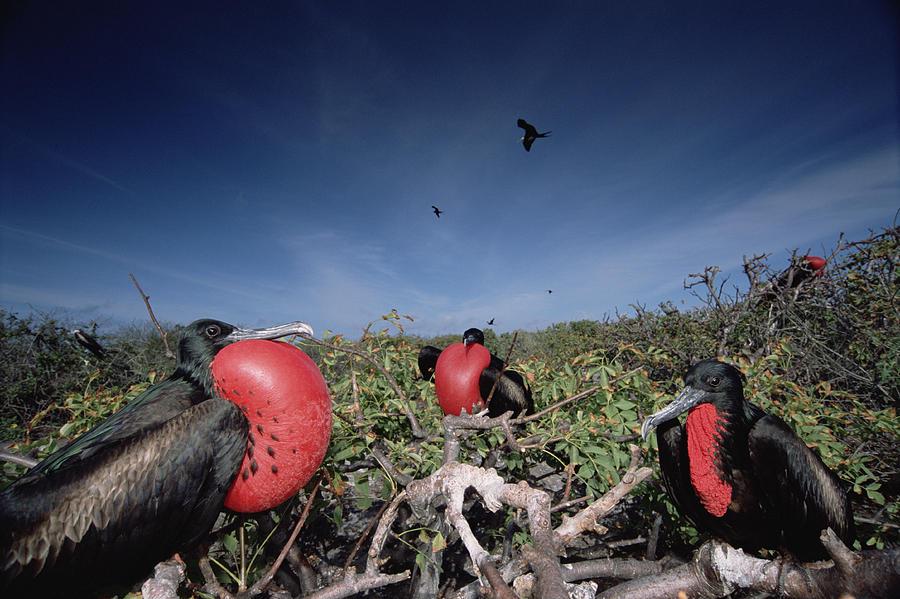 Feb0514 Photograph - Great Frigatebird Males In Courtship by Tui De Roy