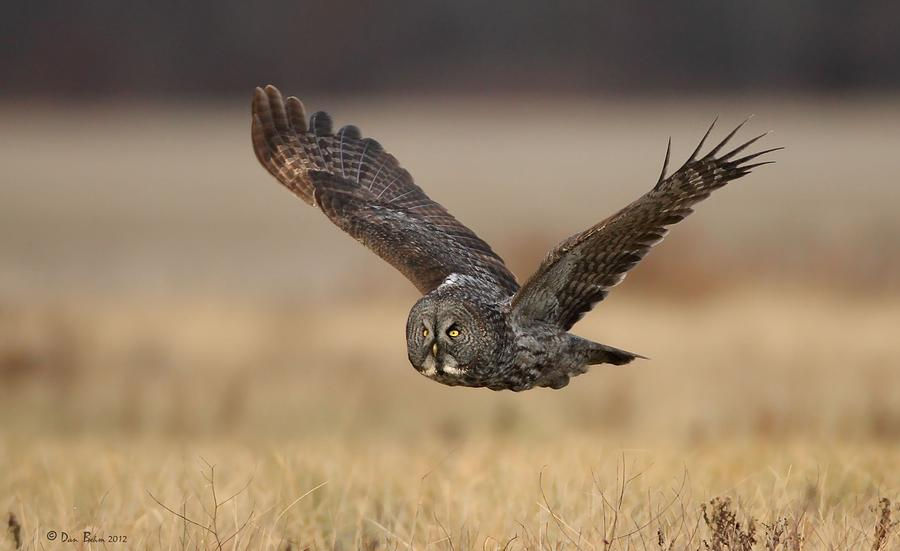 Great Grey Owl Photograph - Great Gray by Daniel Behm