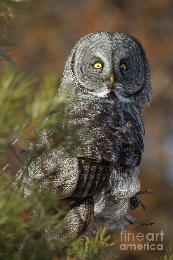 Great Gray Owl  14 by Katie LaSalle-Lowery