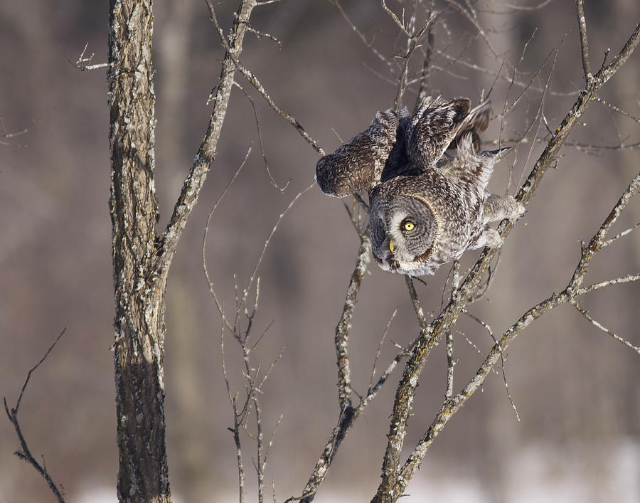 Great Photograph - Great Gray Owl by Brian Magnier
