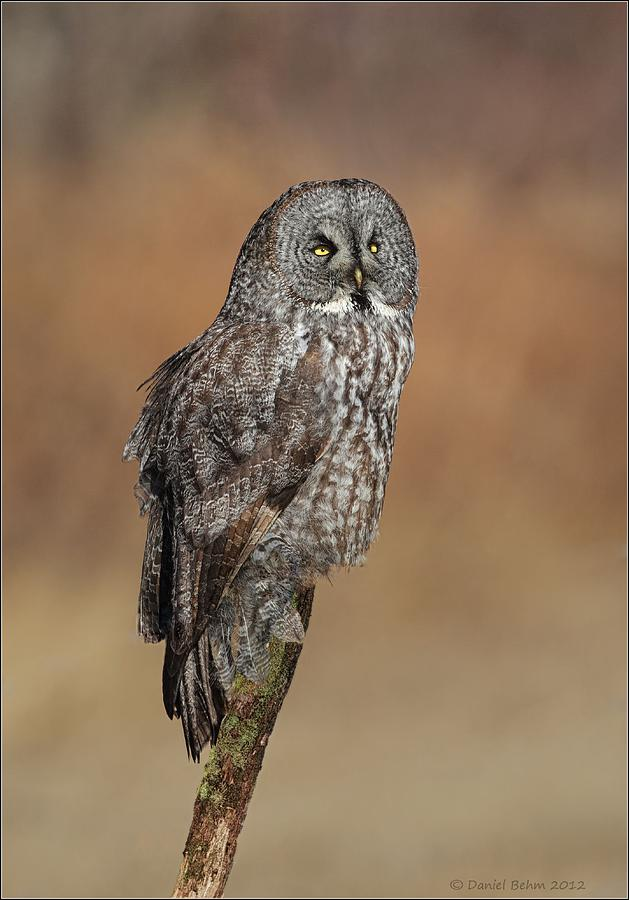 Great Gray Owl Photograph - Great Gray Owl by Daniel Behm