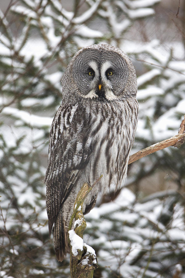 Great Gray Owl In A Tree Germany Photograph by Duncan Usher