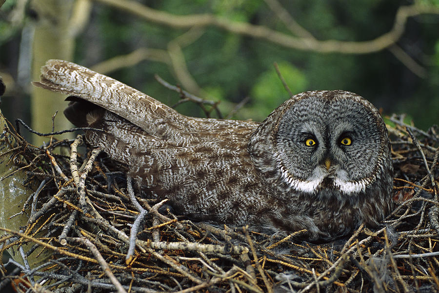 Great Gray Owl Incubating Eggs Photograph by Michael Quinton