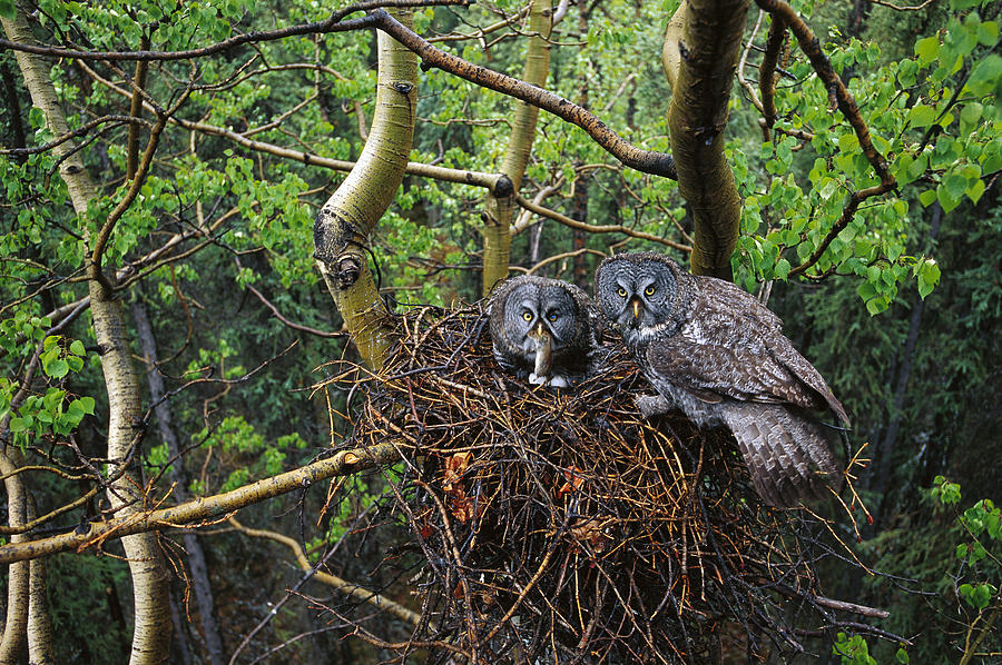 Great Gray Owl Pair Nesting Photograph by Michael Quinton