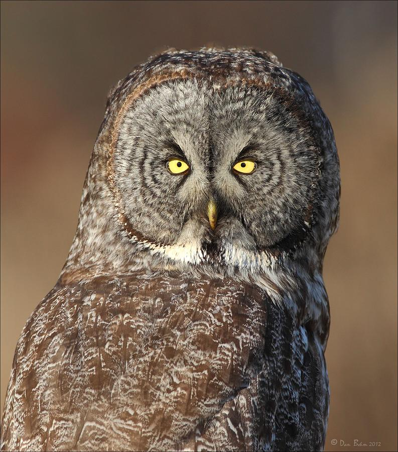 Great Gray Owl Photograph - Great Gray Owl Portrait by Daniel Behm