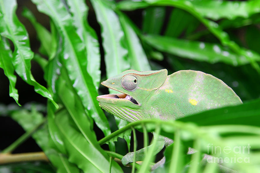 Great Green Chameleon Camouflages Itself In The Midst Of The Gre Photograph