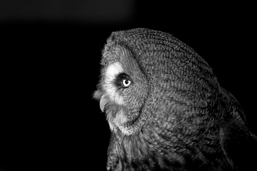 Great Photograph - Great Grey Owl 6 by Simon Gregory