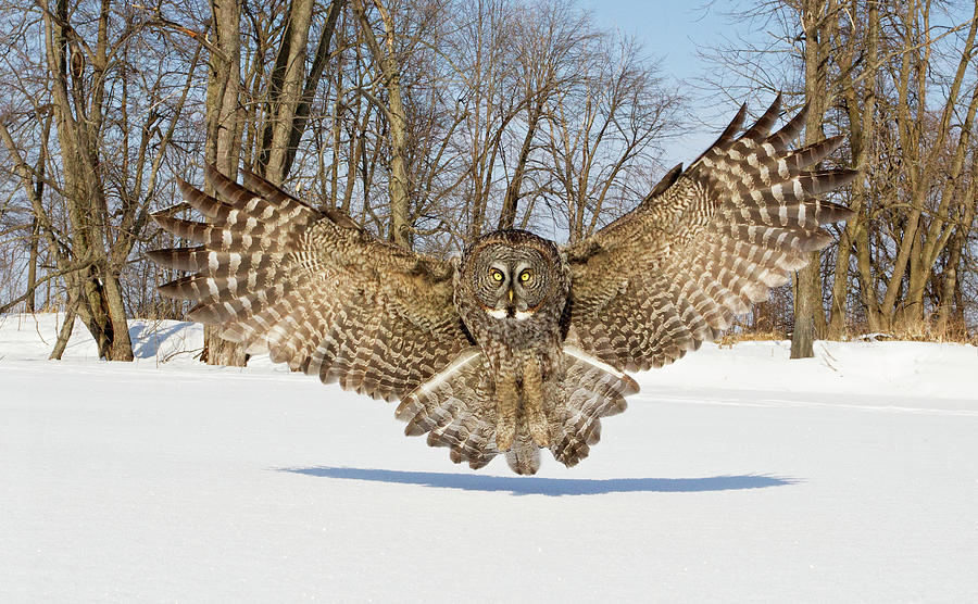 Owl Photograph - Great Grey Owl Attack by Rick Dobson