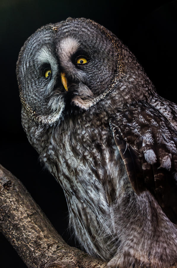 Bird Of Prey Photograph - Great Grey Owl by Gerard Pearson