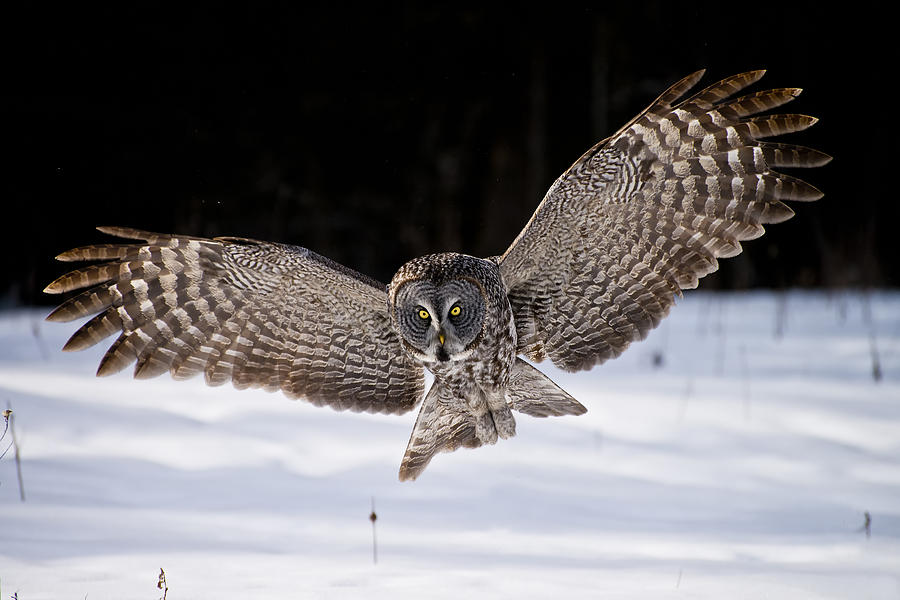 Great Grey Owl Photograph - Great Grey Owl Pictures 36 by Owl Images