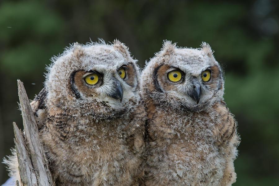 Great Horned Owl Babies by Glenn Springer