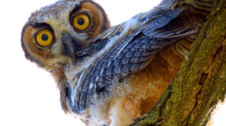 Owl Photograph - Great Horned Owl by Catherine Natalia  Roche
