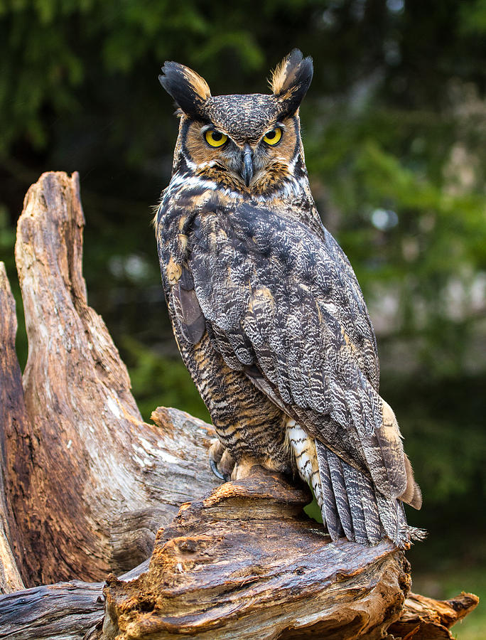 Bird Photograph - Great Horned Owl by Craig Brown