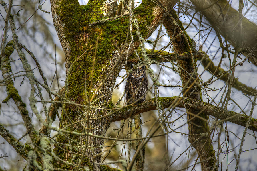 Nature Photograph - Great Horned Owl by David Yack