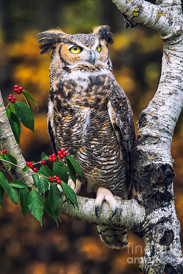 Fall Photograph - Great Horned Owl IIi by Todd Bielby