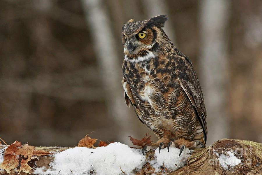 Great Horned Owl In A Snowy Winter Forest Photograph - Great Horned Owl In A Snowy Winter Forest by Inspired Nature Photography Fine Art Photography