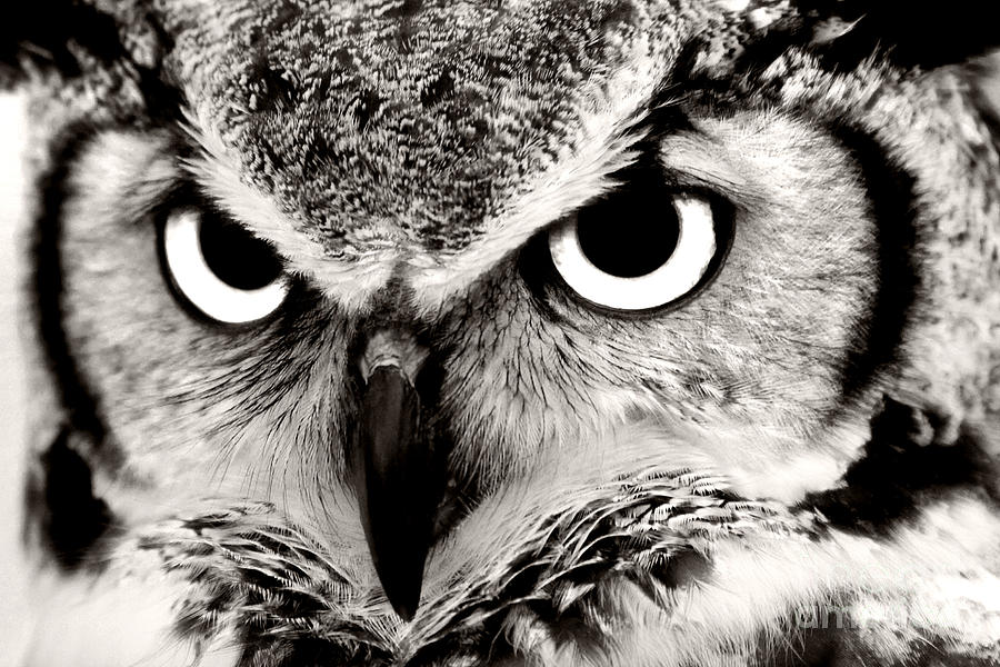 Great Horned Owl In Black And White Photograph By Jill Lang